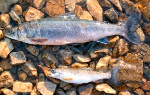 Two sub-species of arctic charr are found in Loch Maree