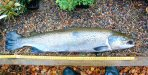 An escaped farm salmon (Ben Rushbrooke) [click to enlarge]