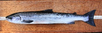 Your right!! Not a smolt: a salmon kelt also taken at Tournaig on 10th April 2014 (photo by Ben R)
