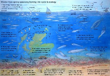 Wester Ross Herring Life Cycle Poster draft