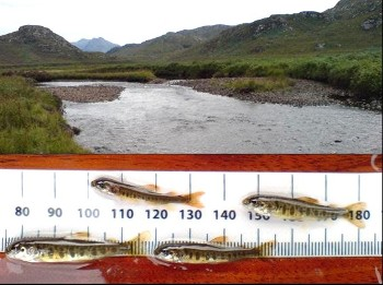 Salmon fry from the River Gruinard (David Mullaney)