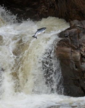 Salmon leaping at waterfall in June 2011 (photo by A. Gresham-Cooke)