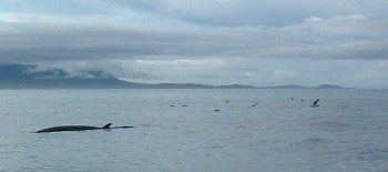 Minke whales have been regularly seen to the west of Gailoch