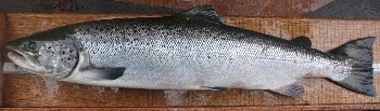 Escaped farm salmon, recognised by scale reading, Tournaig August 2008 (Ben Rushbrooke).