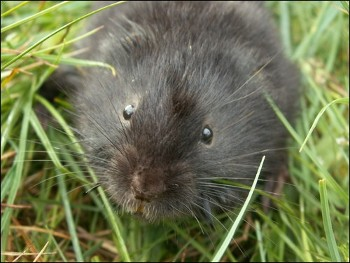 WRFT finds signs of water voles when surveying rivers. Are they threatenned? (photo Aberdeen Uni.)